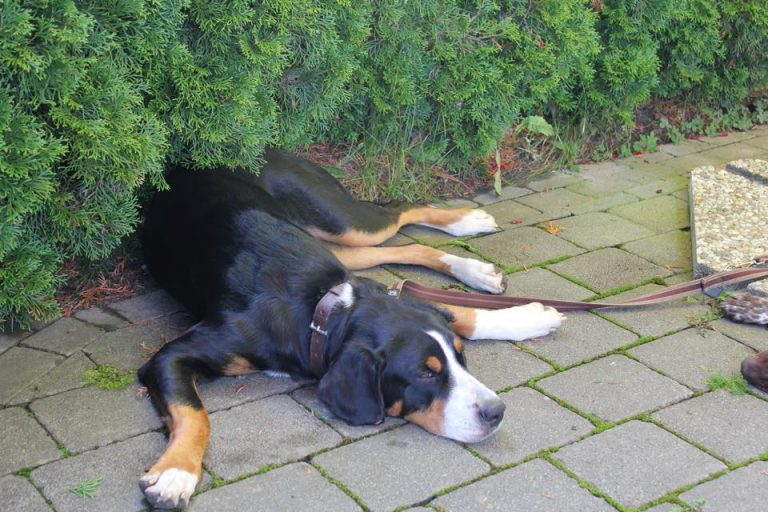 Großer Schweizer Sennenhund Lia
